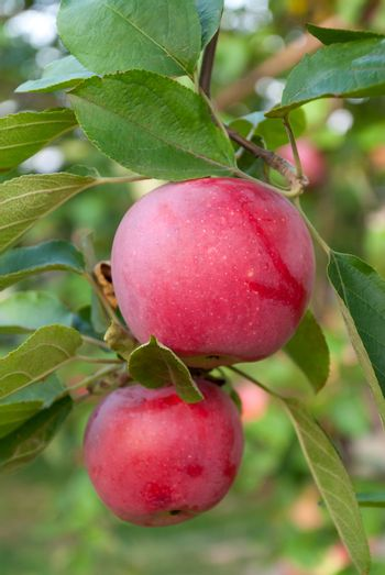 Two colorful red apples on a branch ready to be harvested, autumn outdoors