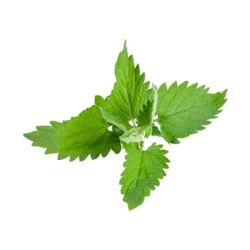 Close-up fresh mint leaves isolated on white background