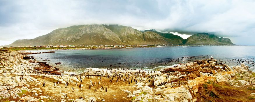 Panoramic landscape with colony of South African penguins, wildlife safari, animals & birds of Atlantic ocean waters, Simon's town beach bay, beautiful nature of African continent