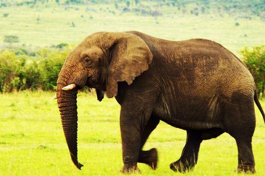 African wild elephant