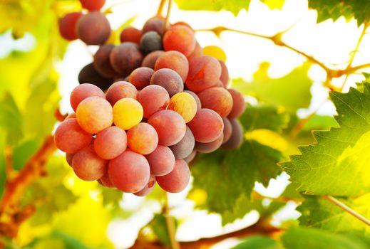 Ripe grape bunch
