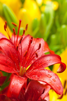 ed lilly flower