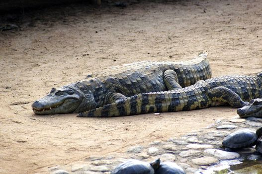 A species of crocodile that lives in lakes and rivers in various parts of the world