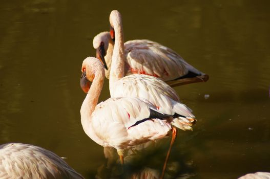 Flamingo, species are recognized by most sources, and these are generally placed in one genus