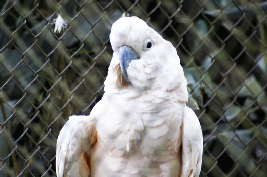 The cockatoos are birds belonging to the family cacatu�deos, similar to our parrots