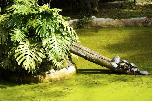 Various types of turtles sunning on a log of wood in its artificial lake