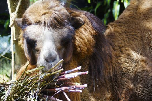 The camel is an animal very useful in the Middle East, for her incredible strength and maintain numerous days without food