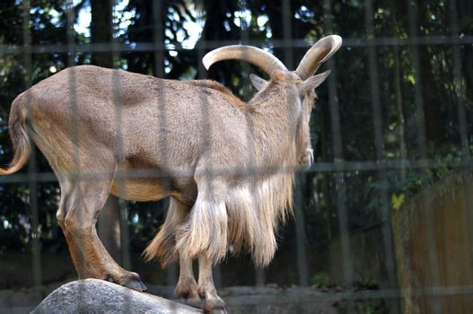 Animal typical of African savannah adaptable in zoological parks