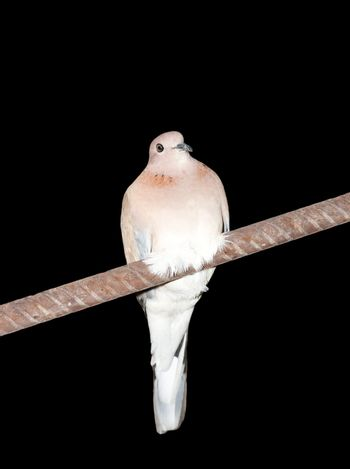 dove on a black background