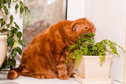 A scottish fold cat sitting on a windowsill and eating of houseplants
