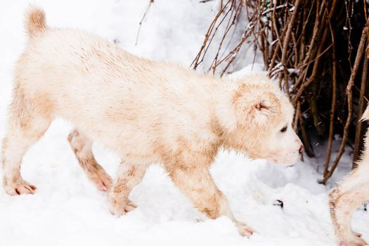 A white central asian puppy walking on snow near a border
