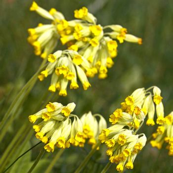 Close-up of cowslip flowers  in natural green environment