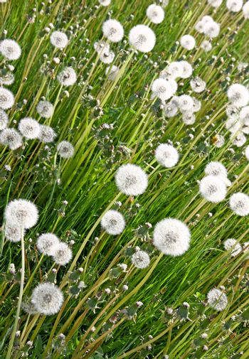 Closeup of white dandelions in the spring meadow