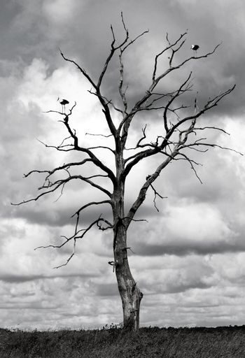 Black and white picture of dead tree with two storks