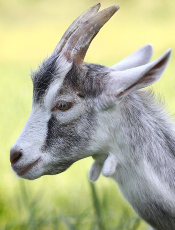 Side view of goat head against green background
