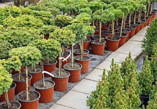 Coniferous garden plants being sold in plant nursery