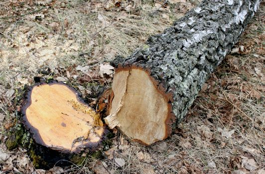 Tree stump and recently cut down birch