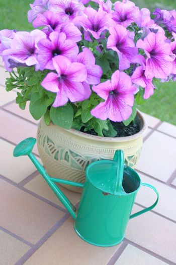 Flower pot with petunias and green color watering can