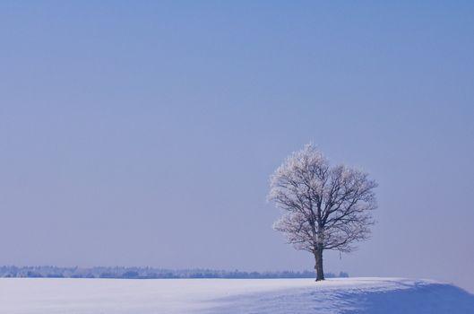 lonely oak tree in winter
