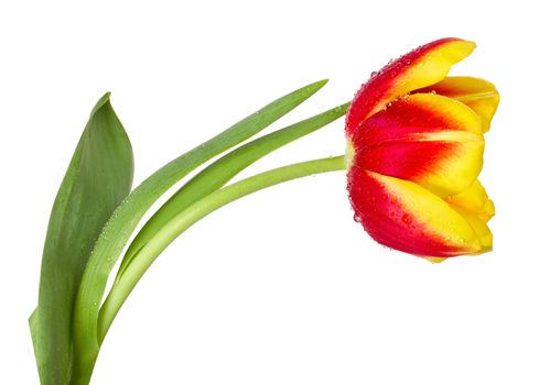 close-up red-yellow tulip, isolated on white