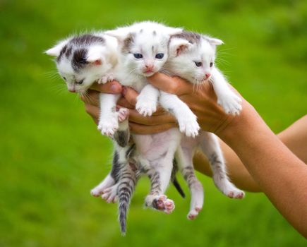 three little kittens in hands on green background