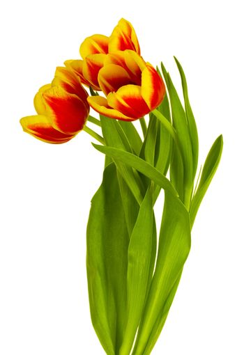 close-up red-yellow tulips bouquet, isolated on white