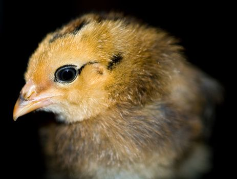 Little yellow and orange fuzzy chick