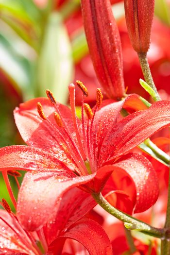 red lilly flowers