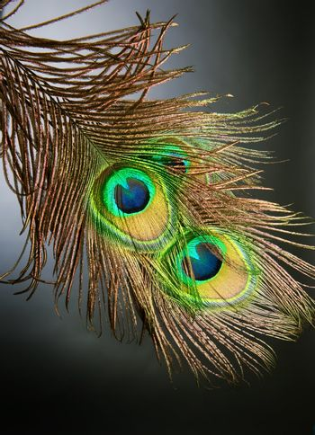 Peacock Feathers over black