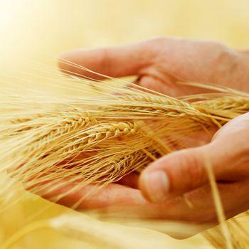 Wheat. Harvest Concept
