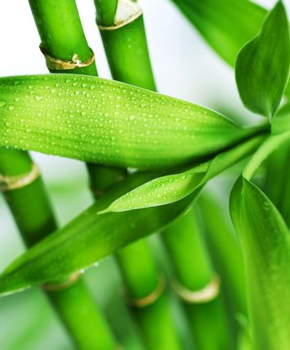 Bamboo. Selective focus