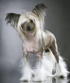 Lapdog. Chinese Crested Purebred Dog