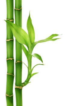 Bamboo Isolated On White