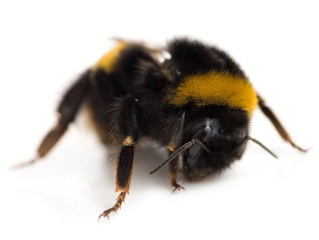 Single Bumblebee Isolated On White