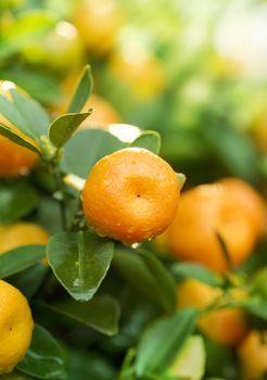 Growing Ripe Mandarin