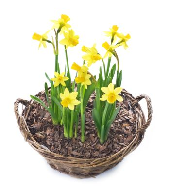 Daffodils growing in a basket