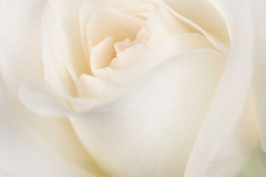 Beautiful Soft Rose