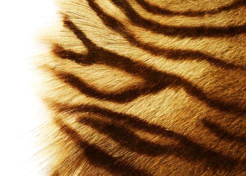 Tiger Skin Over White