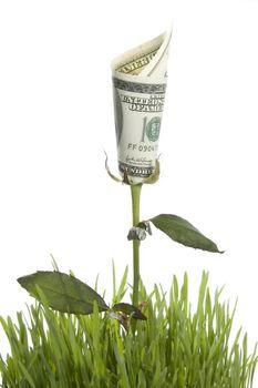 Growing Money Rose. Conceptual Image