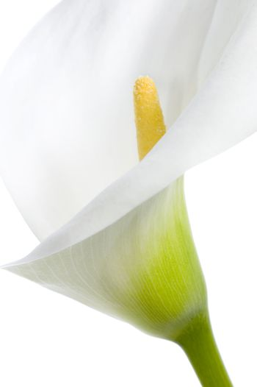 Calla Close-up