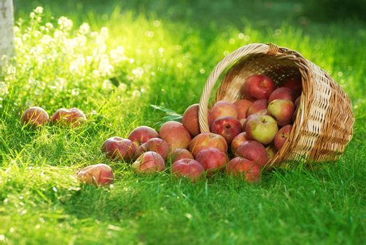 Organic Apples in the Basket