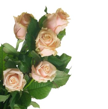 Roses isolated on white