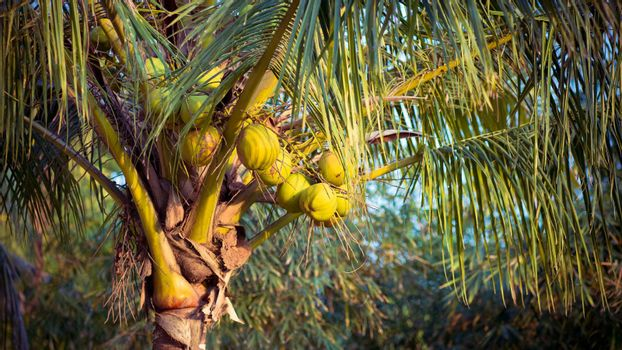Bunch of coconuts on the palm tree