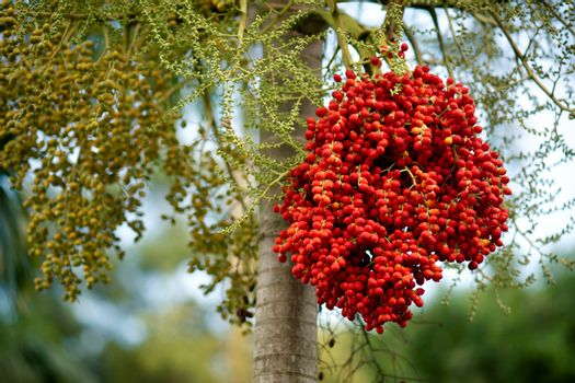 Bunch of red berries on the tree