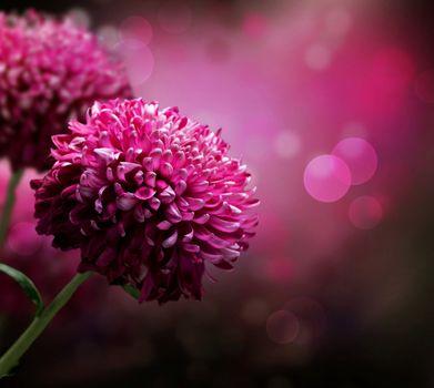 Dahlia Autumn flower design. With copy-space