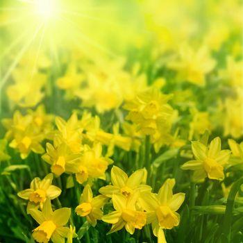 Daffodils In Sunlight