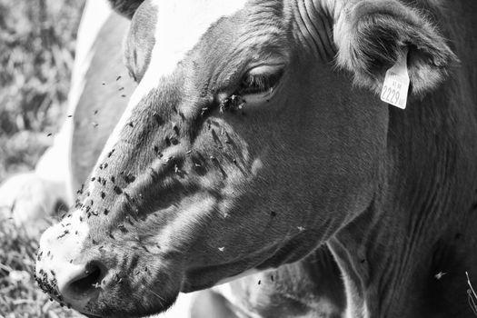 Grazing Cow, Dolomites