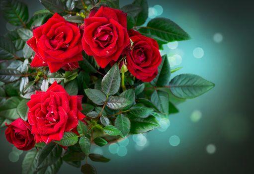 Roses Flowers. Rose
