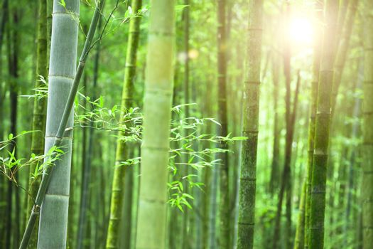 Bamboo forest with morning sunlight