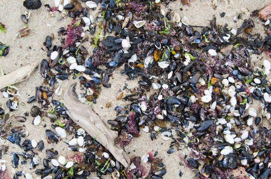 Cockleshells on sandy to seacoast, a close up